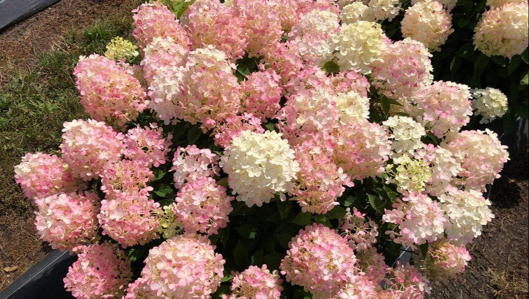 Full hydrangea bushes